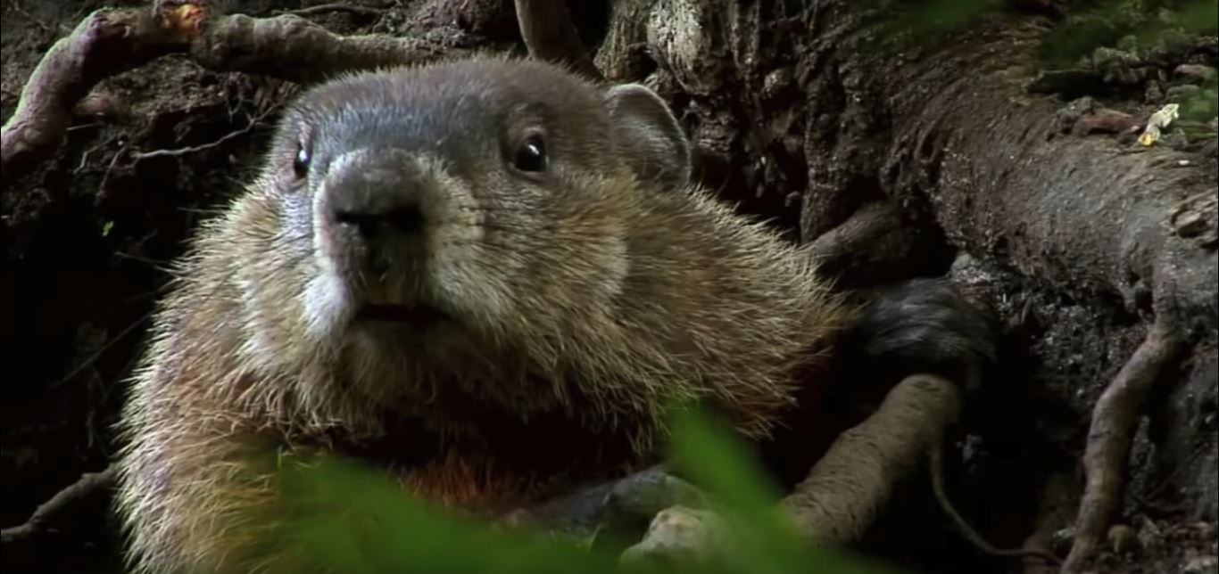 how to keep groundhogs out of my garden. How To Keep Groundhogs Out Of My Garden T